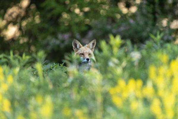 Fox hidden in brush