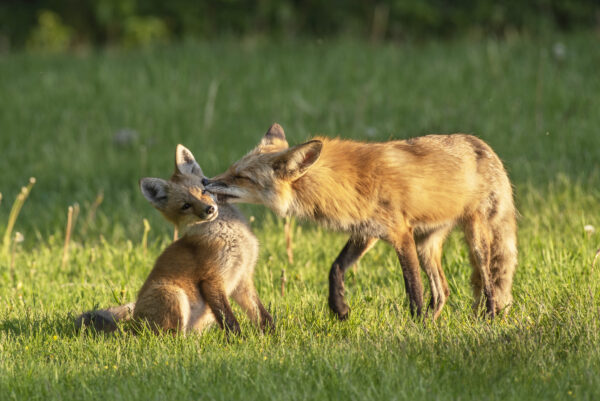 A photo of a fox grooming her kit.