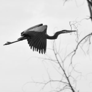a great blue heron carries a branch toward its nest.