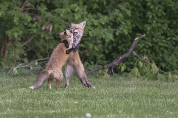 Two fox kits wrestle, standing upright, paws around each other