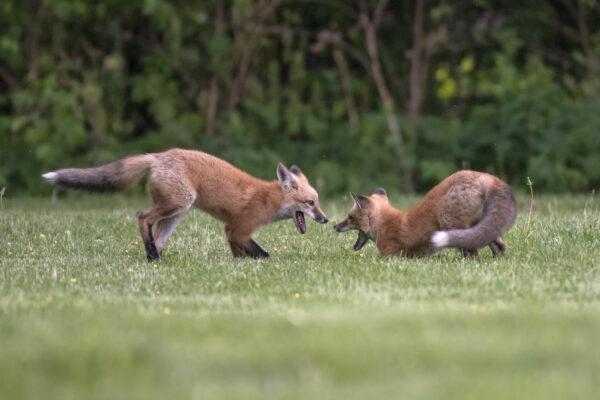 Two fox kits playing