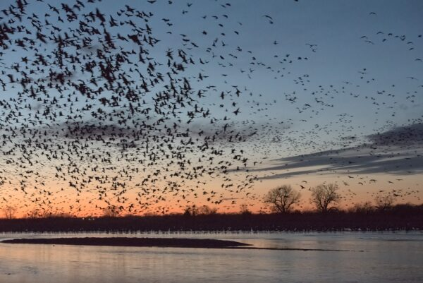 Thousands of sandhill cranes flying over and landing in the Platte River in Nebraska