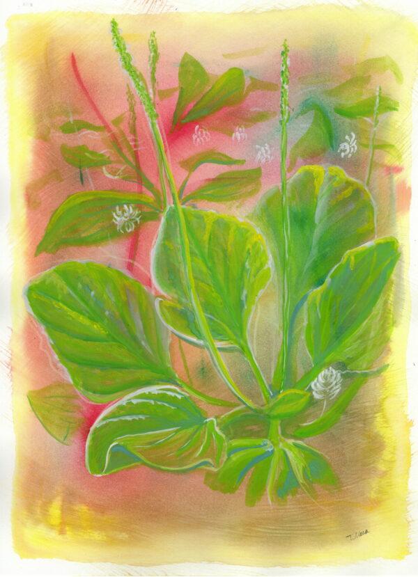 painting of broadleaf plantain plant