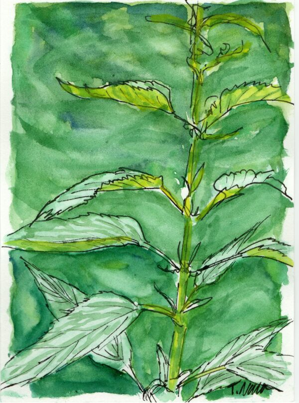 painting of nettle plant