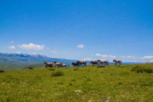 Wild Horse running on Tibet Mountain Grassland